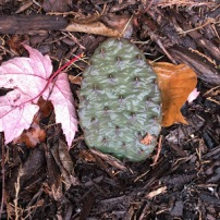 One of our Cactus plants after a few weeks of winter recovery.