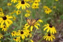 butterfly-on-black-eyed-susan-3566965__340