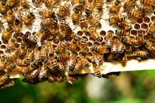 honey-bees-401238__340