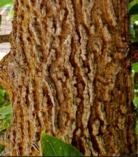 Check out this groovy bark! What other tree has bark this cool?