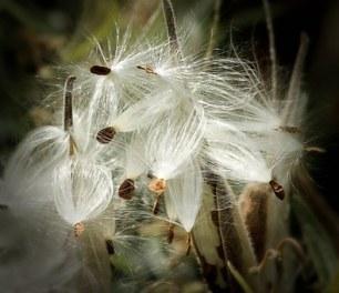 milkweed-170603__340