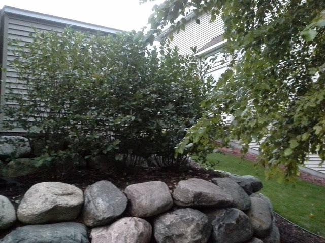 aronia bushes