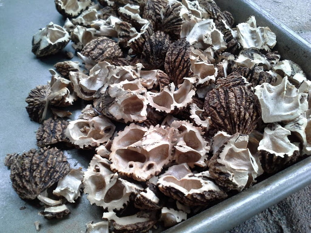 empty walnut shells