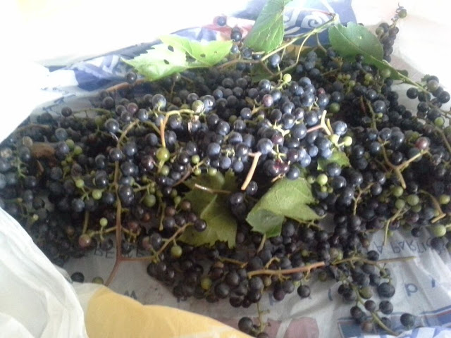 wild riverbank grapes.jpg
