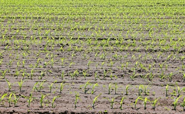 corn-3417982_960_720.jpg