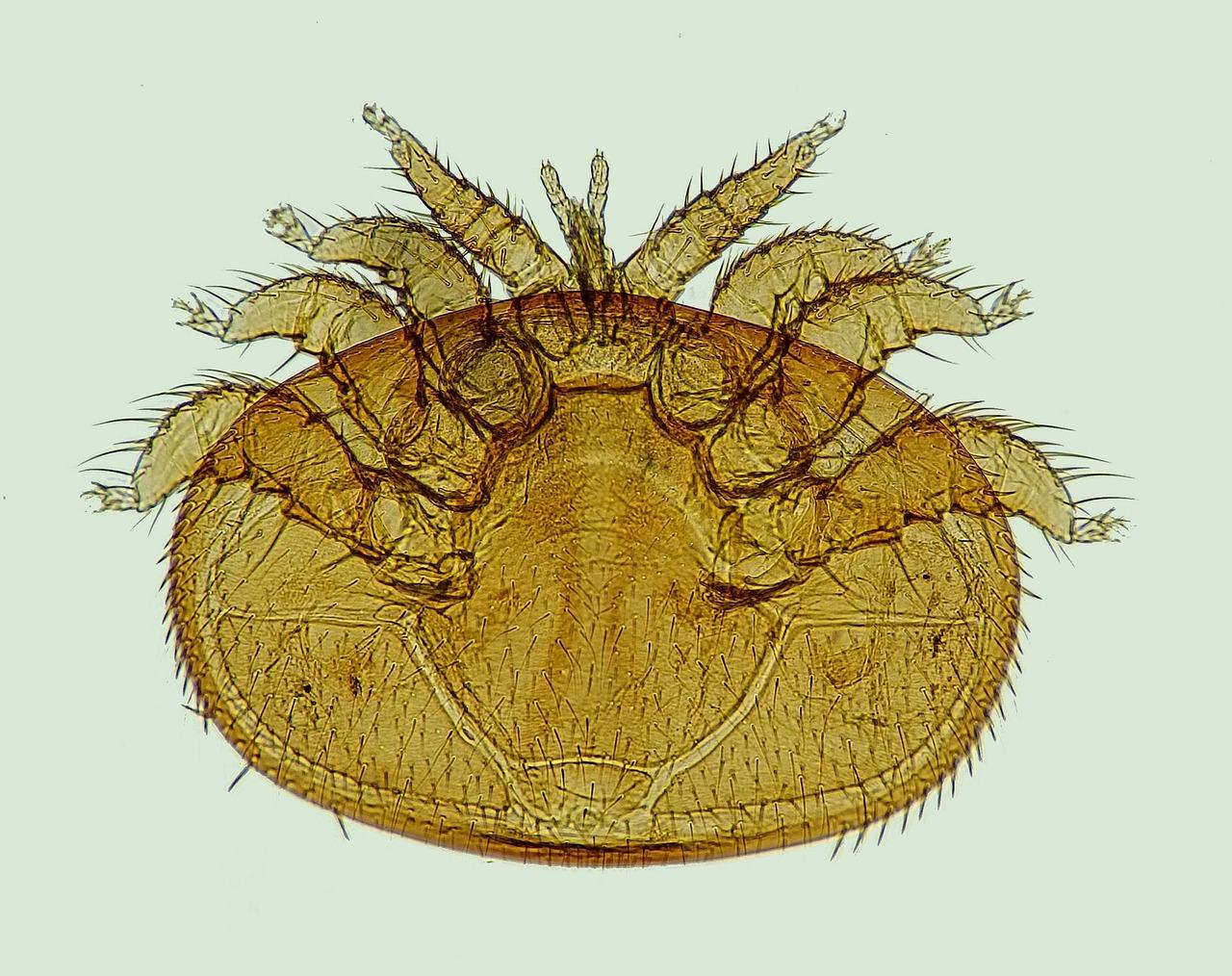 varroa-1196510_1280